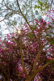 Tree with pink flower on the sky background Stock Photo