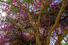 Tree with pink flower on the sky background Stock Images