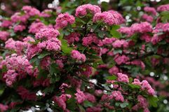 Tree with the pink flowers Royalty Free Stock Images