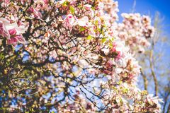 Tree With Pink Flowers and Green Leaves Royalty Free Stock Images
