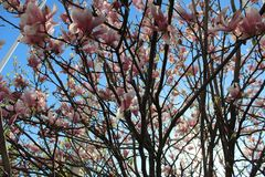 tree with pink flowers - Magnolia stock images