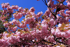 Tree with pink flowers Stock Photography