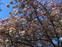 Tree with pink flowers Royalty Free Stock Image