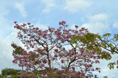 Tree pink flowers Royalty Free Stock Image