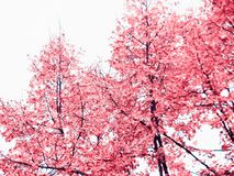 Tree with pink leaves in spring time. Detailed photo of tall trees with pink leaves taken during spring time Royalty Free Stock Photo