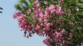 A tree with pink oleander flowers. A tree with multiple pink oleanderflowers over a summer sky stock video