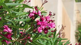 A tree with pink oleander flowers. A plant with pink oleander flowers in a summer park stock video