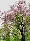A tree with pink and purple flowers in the middle of the green woods stock photography