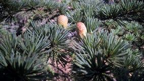 Tree. Pinus strobus fastigiata Royalty Free Stock Photos