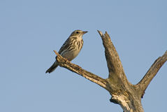 Tree Pipit Royalty Free Stock Photography
