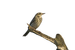 Tree Pipit royalty free stock images