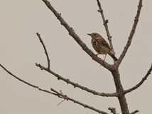 The Tree Pipit Stock Image