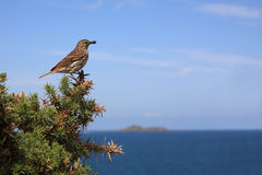 Tree Pipit Stock Photography