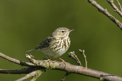 Tree Pipit - Anthus trivialis. Tree Pipit on branch of tree - Anthus trivialis Stock Photos