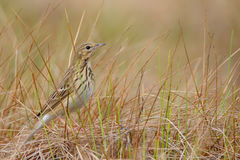 Tree Pipit. Anthus trivialis. Stock Photo