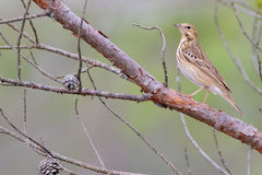Tree Pipit. Anthus trivialis. Stock Photography
