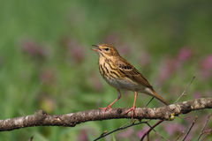 Tree Pipit. Anthus trivialis. Royalty Free Stock Image
