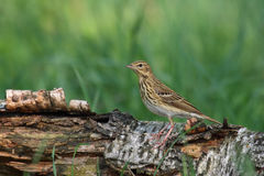 Tree Pipit. Anthus trivialis. Stock Images