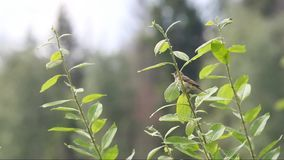 Tree pipit  (Anthus trivialis). Is sitting on a branch and sings his song stock footage