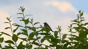 Tree pipit  (Anthus trivialis). Is sitting on a branch and sings his song stock video