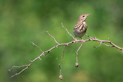 Tree pipit Royalty Free Stock Photos