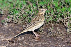 Tree Pipit (Anthus trivialis) Stock Images