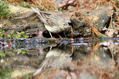 Tree Pipit Royalty Free Stock Photo