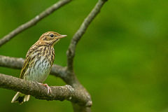 A Tree Pipit on the branch Stock Photography