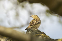 Tree Pipit singing Royalty Free Stock Images