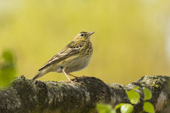 Tree Pipit in Yellow Stock Images