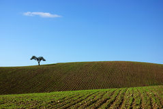 Tree in plain of Alentejo. Royalty Free Stock Photography