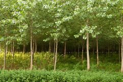 Tree Plantation Royalty Free Stock Images