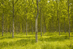 Tree plantation in Sologne. Royalty Free Stock Images