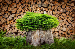 Tree planted in a pot from trunk with firewood background Royalty Free Stock Photography