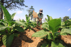Tree Planting Tobacco For Making Cigarettes Royalty Free Stock Image