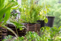 Tree, plants for home decoration, add beauty to the garden.  Royalty Free Stock Images