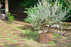 Tree, plants for home decoration, add beauty to the garden.  Stock Photo