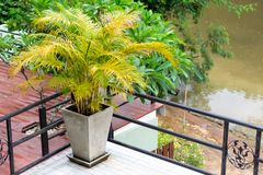 Tree, plants for home decoration, add beauty to the garden.  Royalty Free Stock Photography