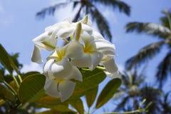 Tree of plumeria has blossomed in the tropics Stock Photo