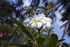 Tree of plumeria has blossomed in the tropics Royalty Free Stock Photos