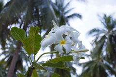 Tree of plumeria has blossomed in the tropics Royalty Free Stock Photography