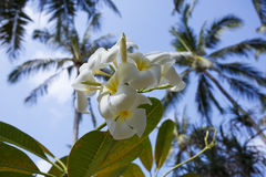 Tree of plumeria has blossomed in the tropics Royalty Free Stock Images