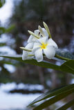 Tree of plumeria has blossomed in the tropics Stock Images