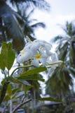 Tree of plumeria has blossomed in the tropics Royalty Free Stock Photo