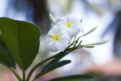 Tree of plumeria has blossomed in the tropics Royalty Free Stock Image