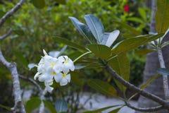 Tree of plumeria has blossomed in the tropics Stock Photos