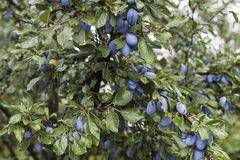 Tree With Plums Royalty Free Stock Photo