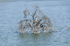 Tree plunged into Lake Kaweah Stock Image