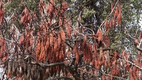 Tree Pods. Brown pods on a tree stock video footage