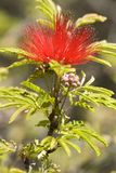Tree Pohutuakawa flower. Also referred to as the New Zealand Christmas Tree Royalty Free Stock Images
